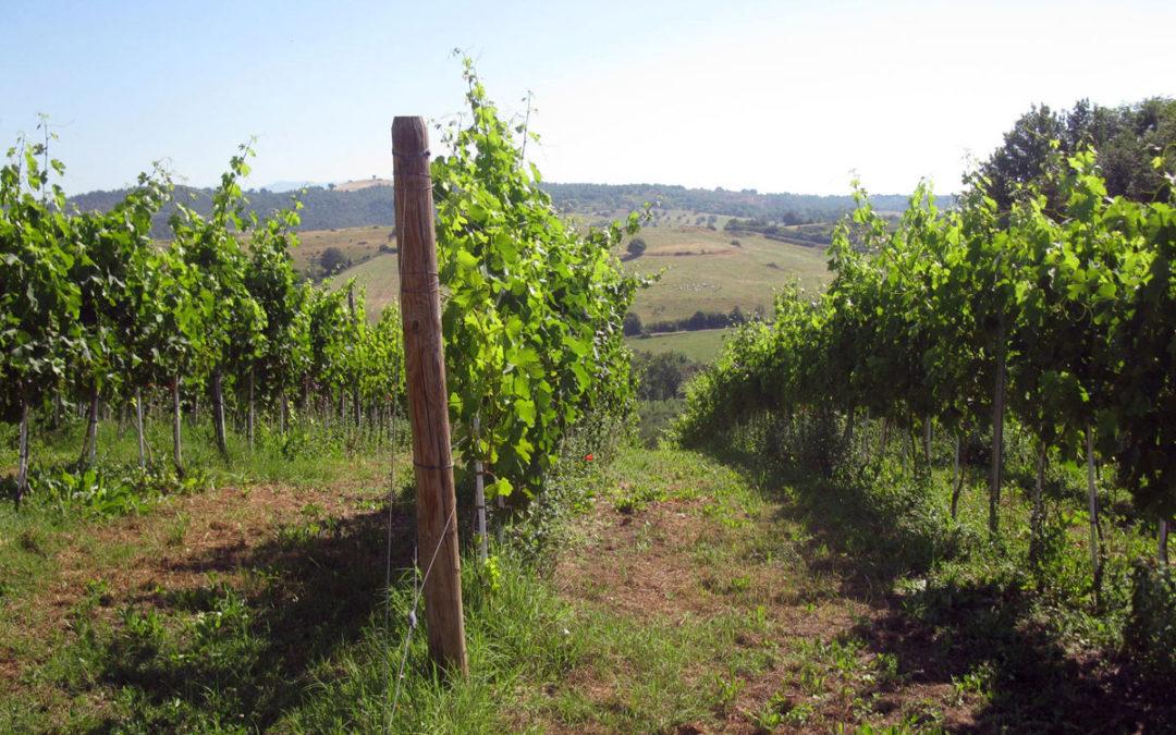 Le vigne nel territorio di Leprignano