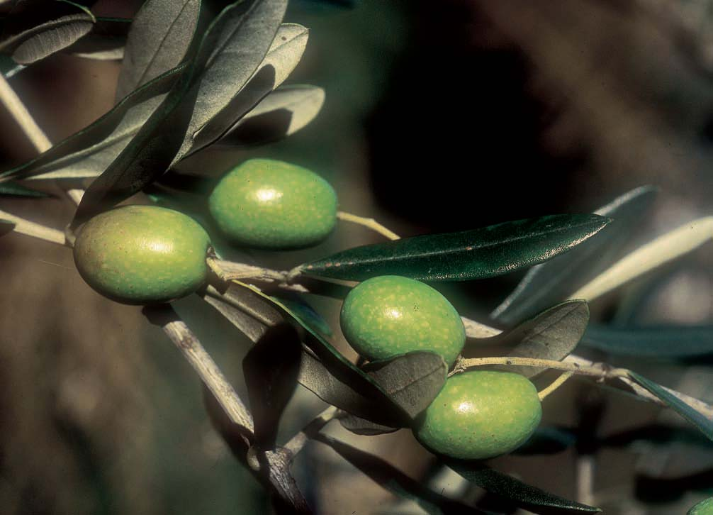 Corso di potatura olivi